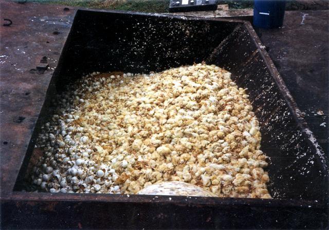 Chicks in trash