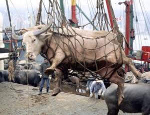 HI-cow-transport
