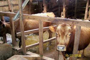 HI-cow-zerograze