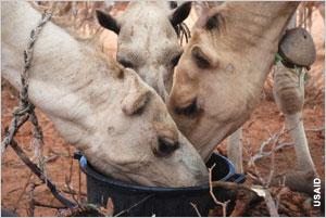 HI-cows-eating-_USAID-Kenya