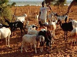 Hi-goats-notHIspecific