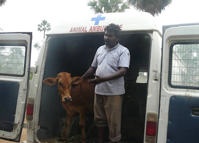 vspca-calf-rescue